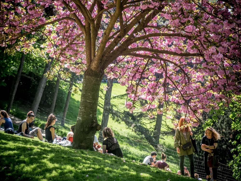 arbre aux fleurs roses au parc des buttes chaumont à paris